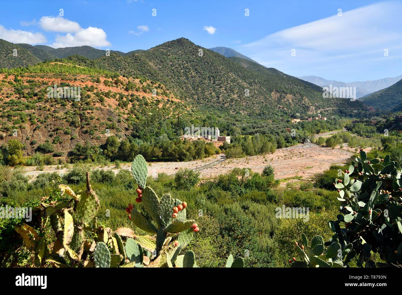 Morocco, High Atlas, Toubkal National Park, Ourika valley, prickly pear - Stock Image
