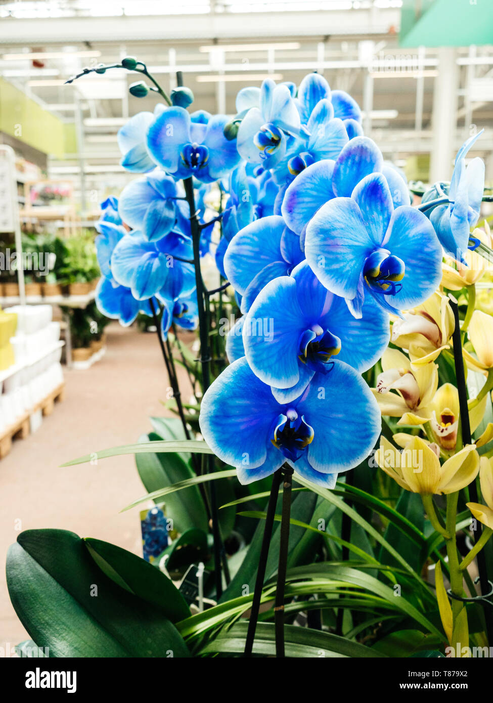 Elegant blue fresh Orchid flower from the Orchidaceae family close-up in modern florist store - Stock Image