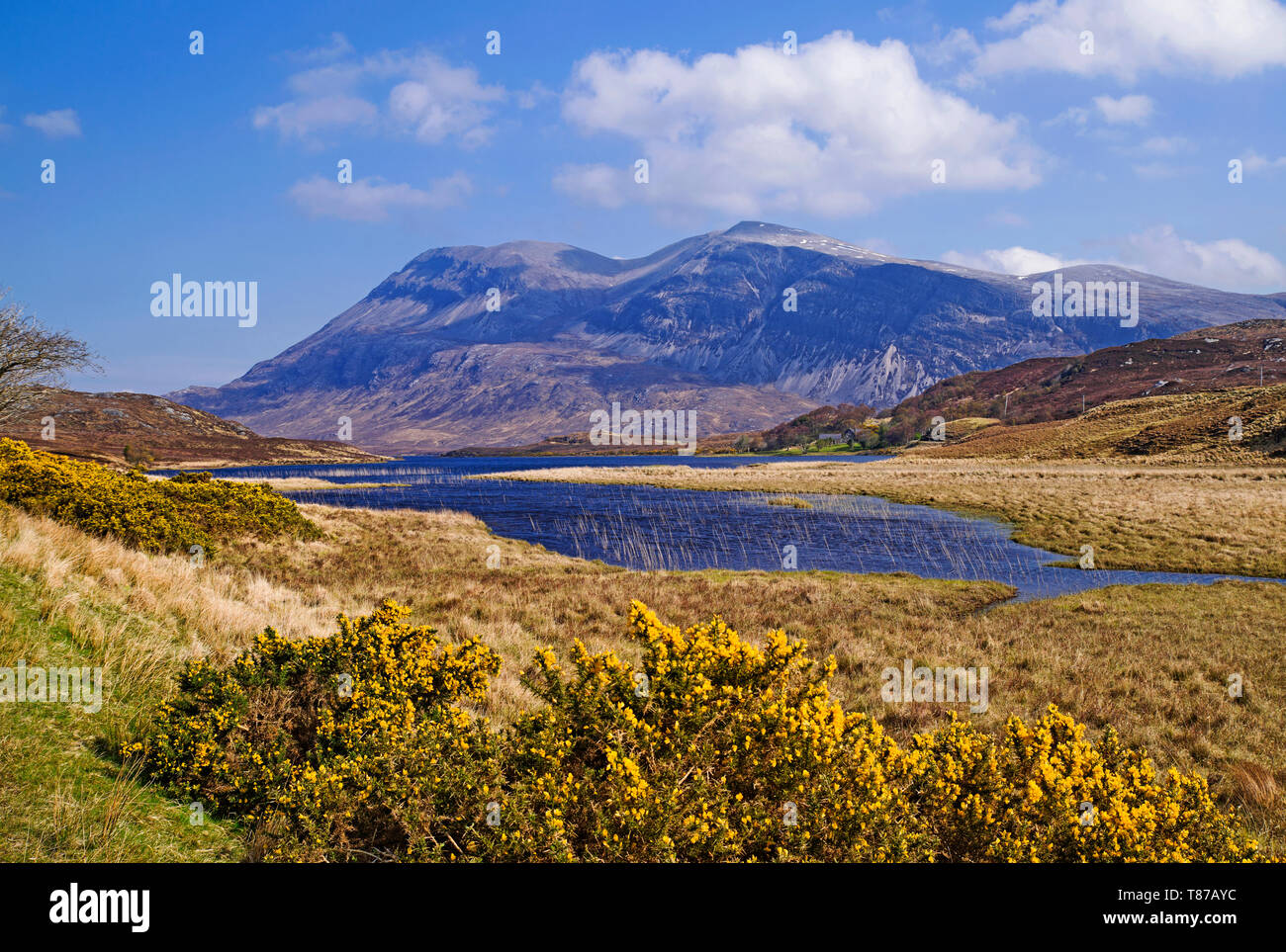 Arkle seen across Loch Stack, Sutherland, Scottish Highlands UK, sunny Spring morning, flowering gorse bushes in foreground, - Stock Image