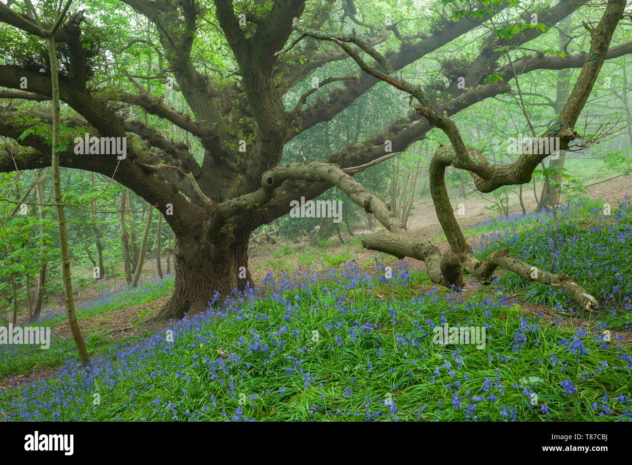 Bluebells in a misty West Sussex woodland. Stock Photo