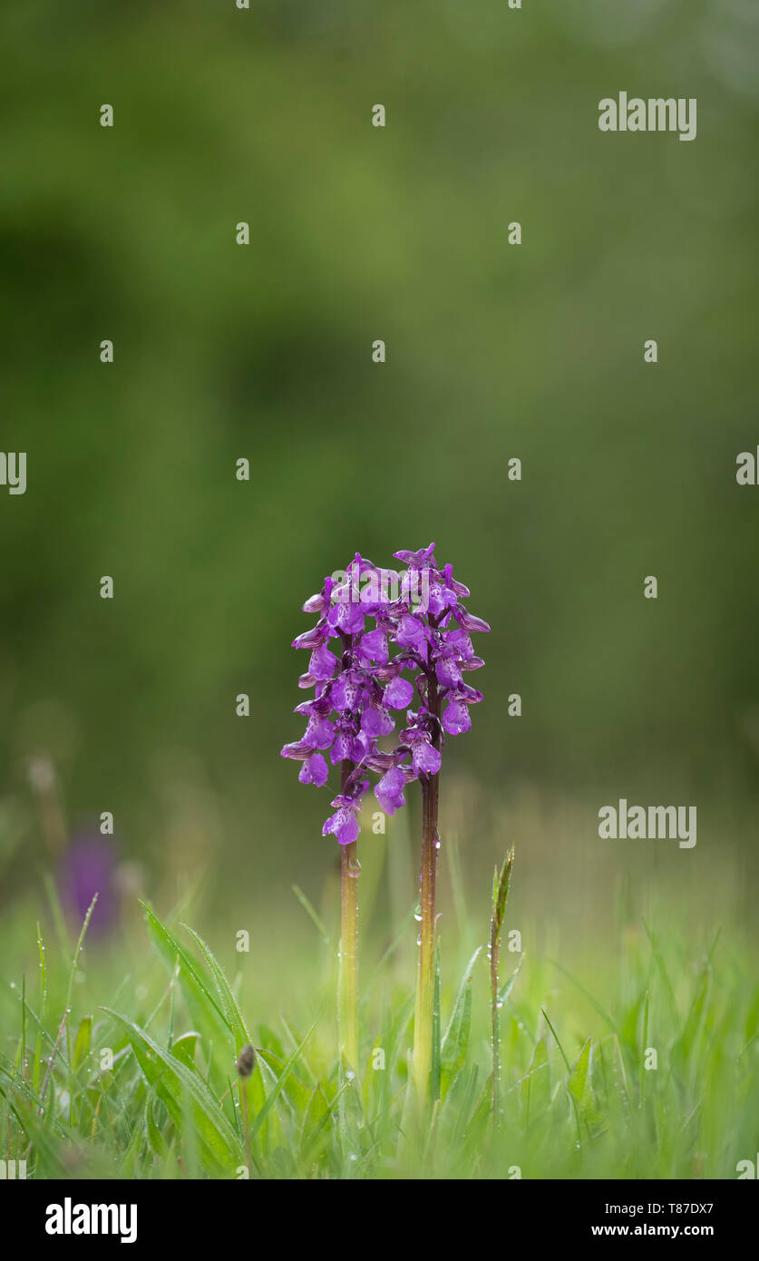 Early Purple Orchid; Orchis mascula, Spring in Oxfordshire - Stock Image