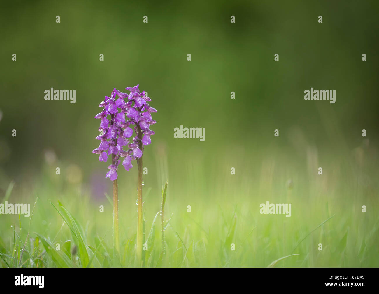 Green-winged Orchid; Anacamptis morio, Spring in Oxfordshire - Stock Image