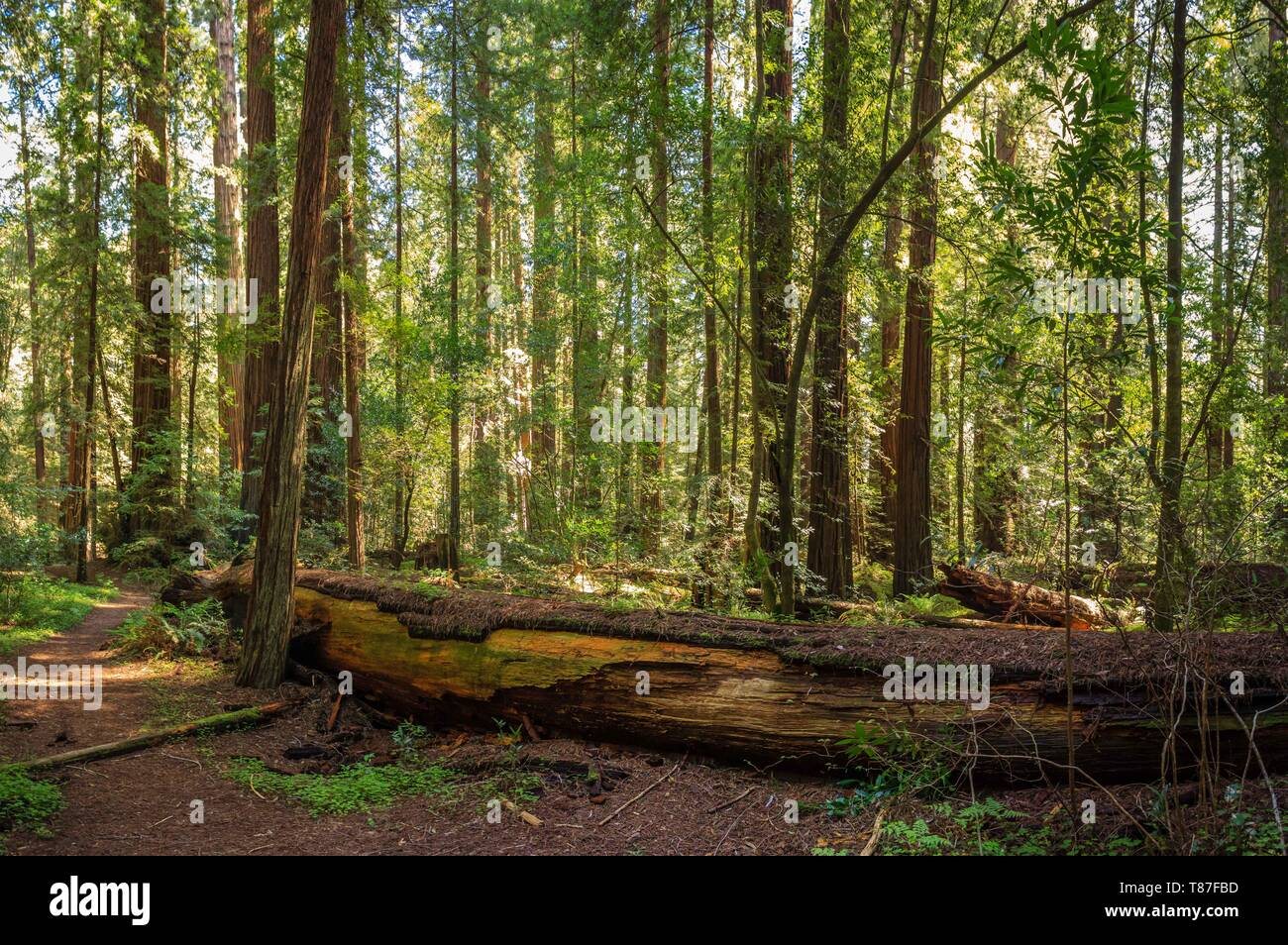 Light coming through the redwood canopy along the Avenue of the Giants, California - Stock Image