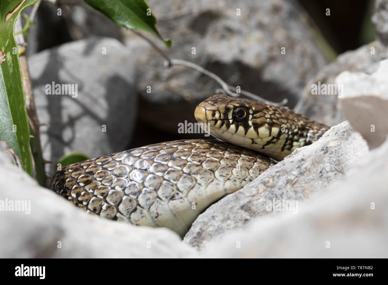 Balkan-Zornnatter, Balkanzornnatter, Zornnatter, Hierophis gemonensis, Coluber gemonensis, Balkan whip snake, couleuvre des Balkans - Stock Image