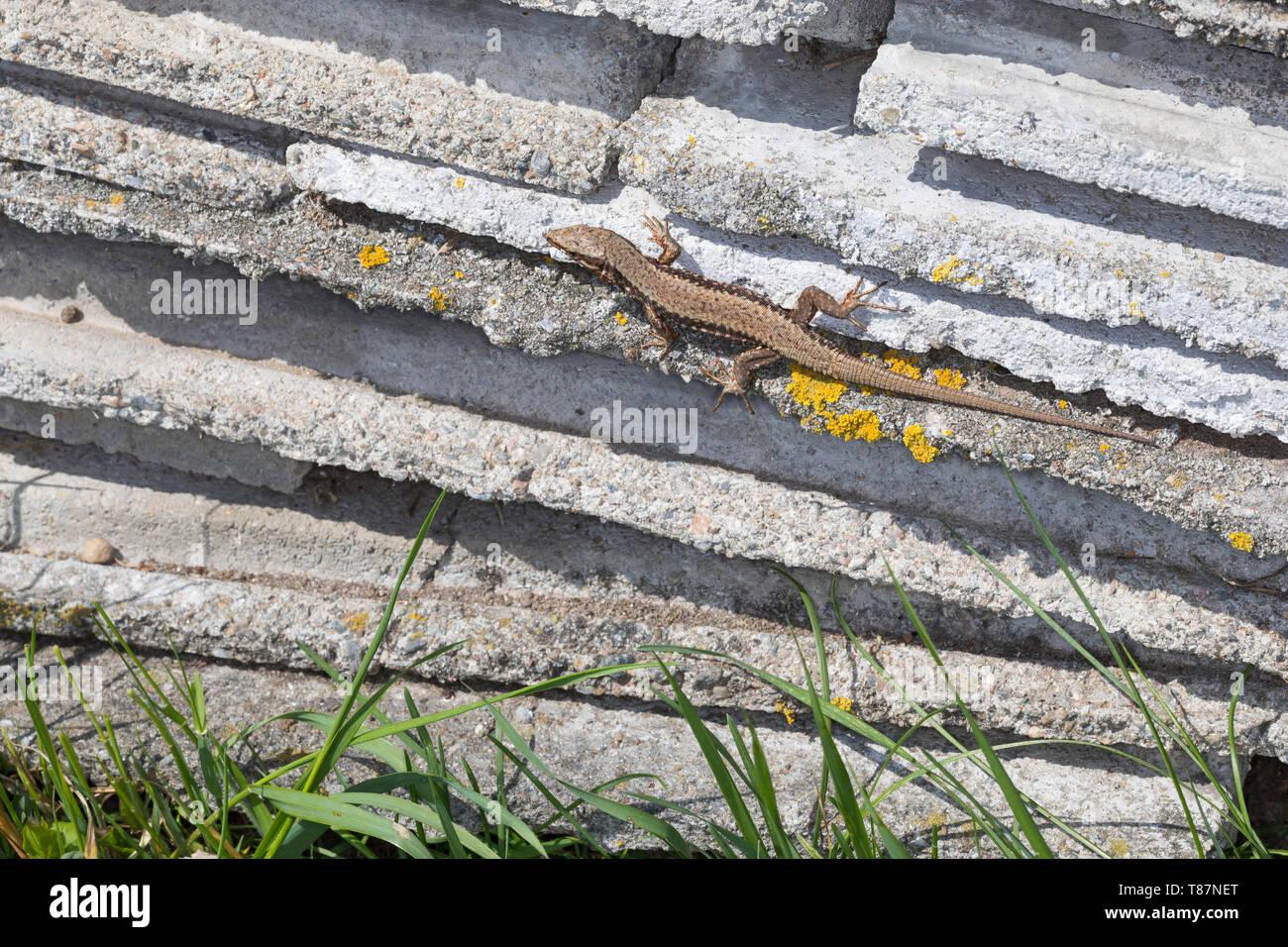Mauereidechse, Mauer-Eidechse, Podarcis muralis, Lacerta muralis, common wall lizard, wall lizard, European wall lizard, Le Lézard des murailles, Öste - Stock Image