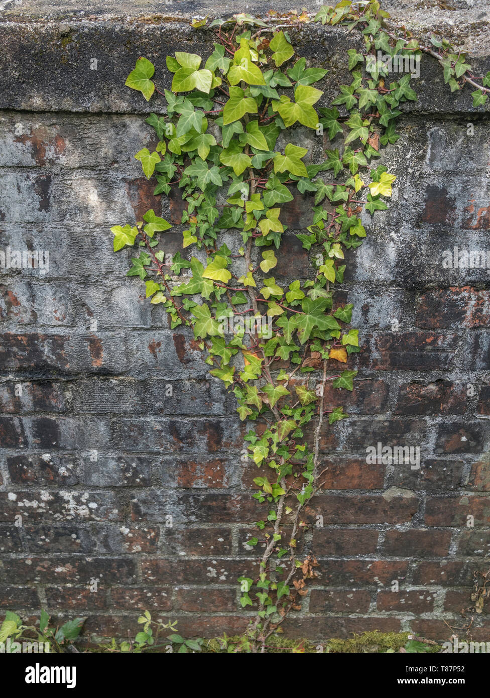 Climbing ivy / Common Ivy - Hedera helix - growing up the side of a brick wall. Concept creeping ivy. Stock Photo