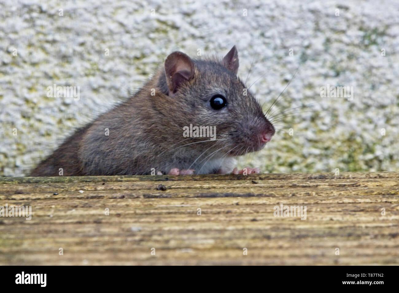 Young Brown Rat, (Rattus norvegicus), Penzance, Cornwall, England, UK. - Stock Image