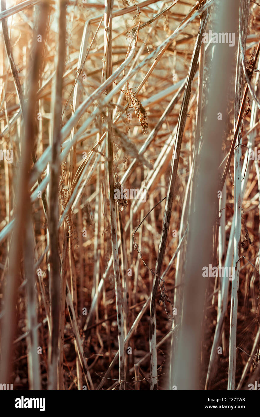 frame full the texture of high dried grass in the upper left corner shines warm sunset - Stock Image