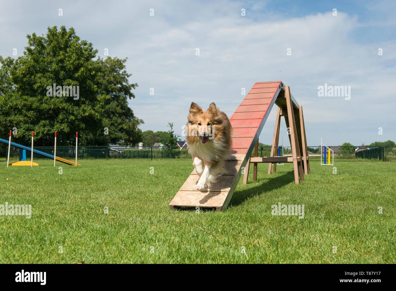 Shetland sheepdog running of a dog walk on a agility course - Stock Image