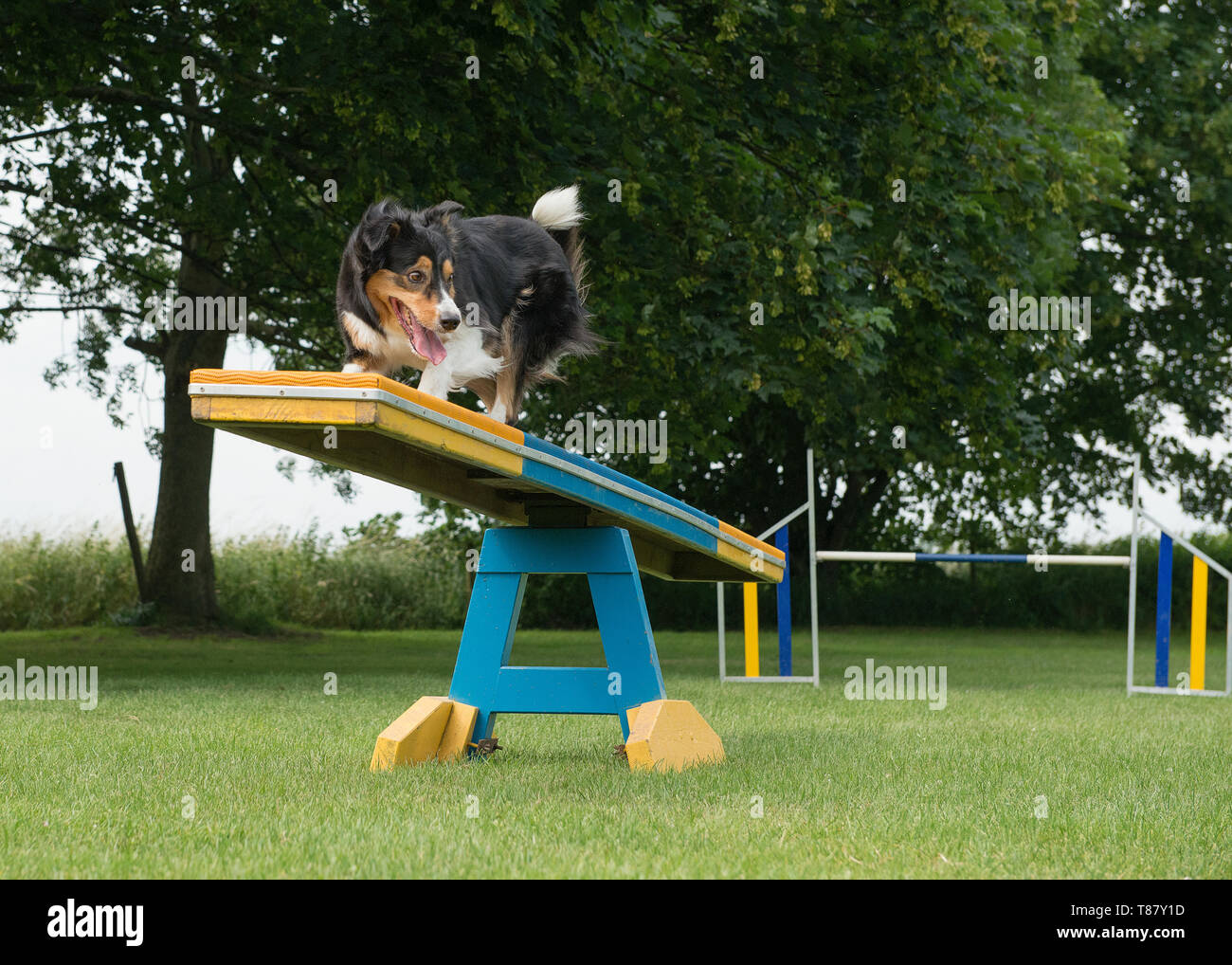 Border collie mixed dog running over the see-saw in a agility course - Stock Image