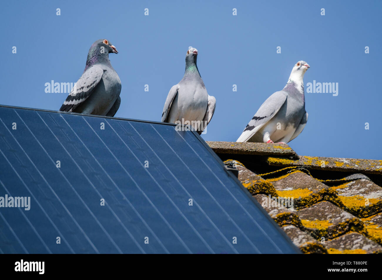 Encounter With Pigeon On Military Ridge >> Fancy Pigeons Stock Photos Fancy Pigeons Stock Images Alamy