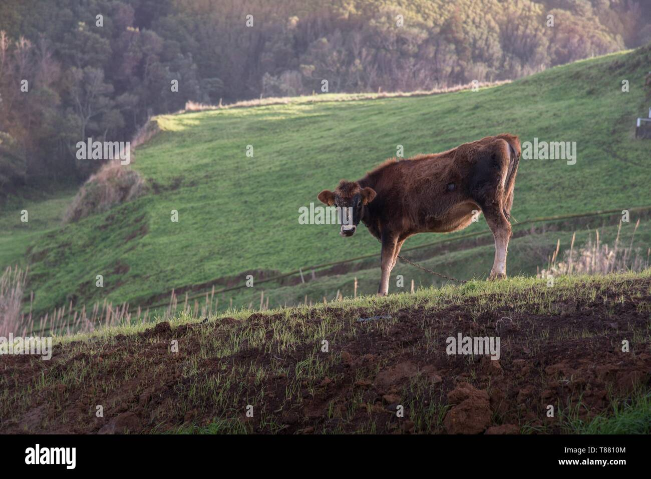 cow on a slope Kuh am Hang - Stock Image