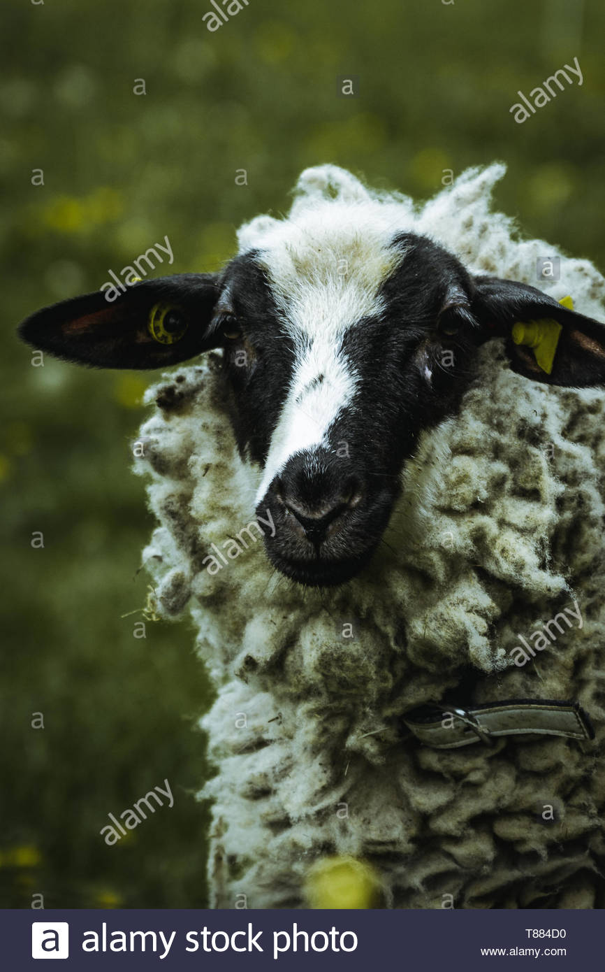 sheep in the landscape of durach - Stock Image