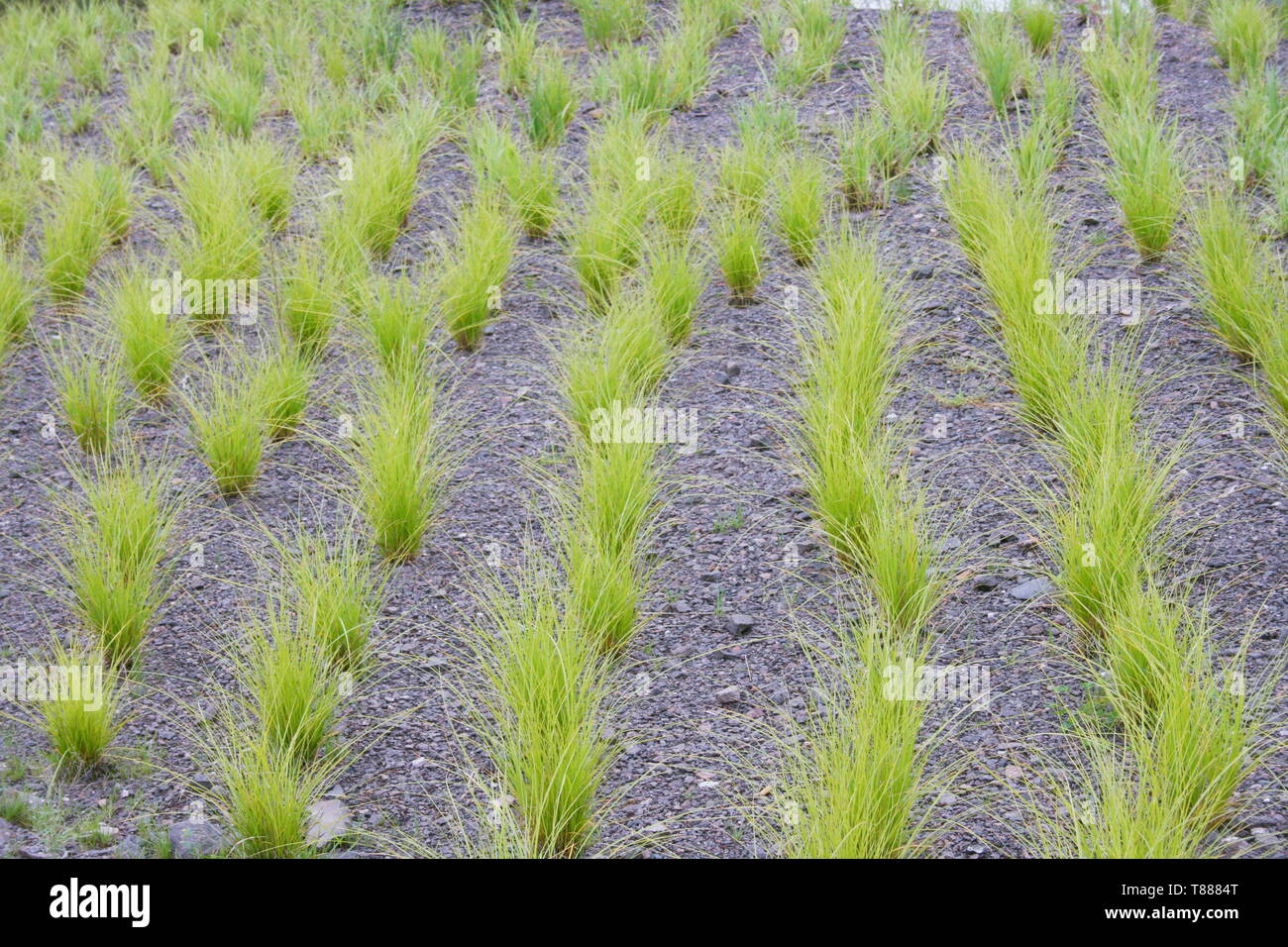 Green ornamental grass in series on slate floor Stock Photo