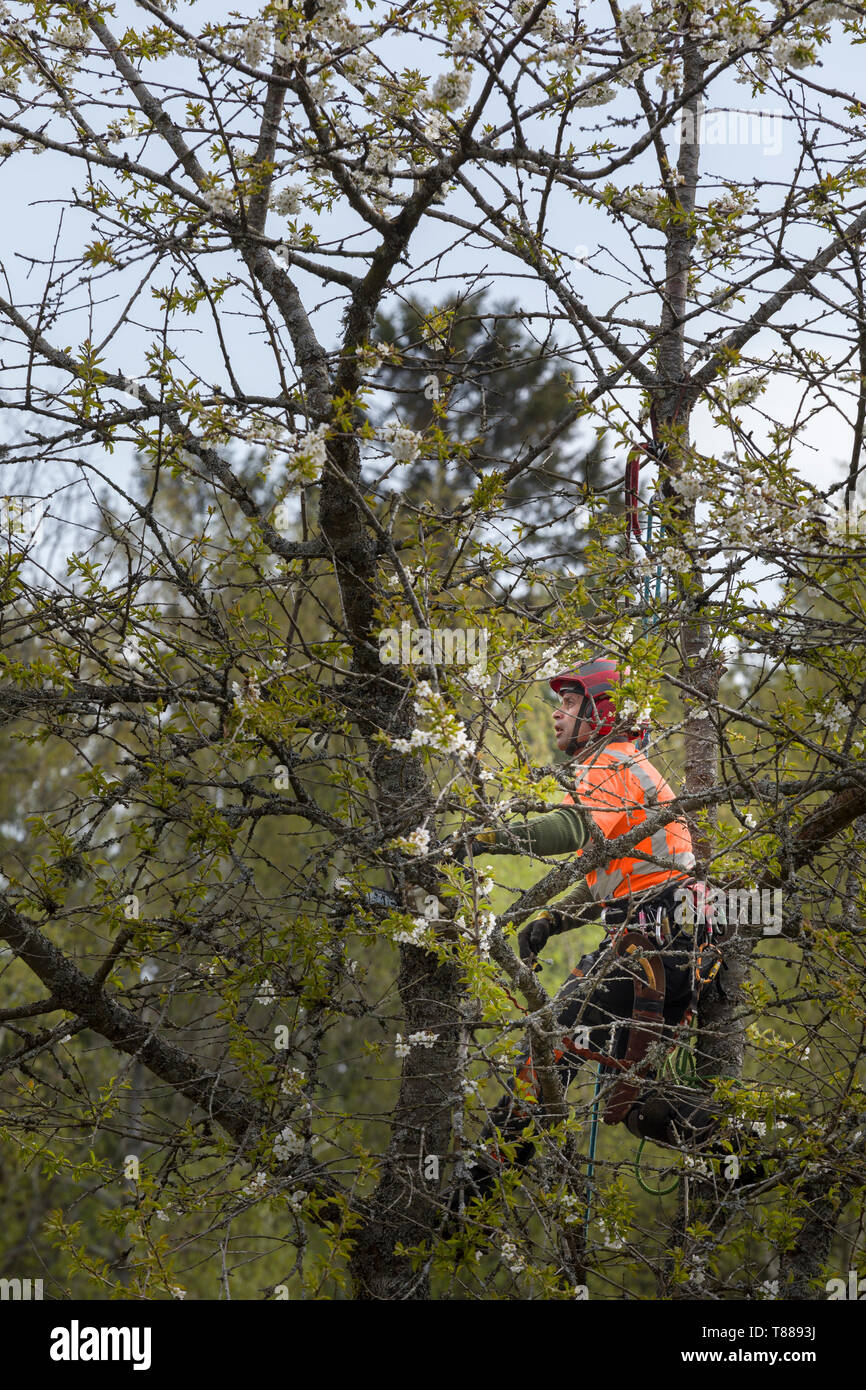 Male arborist aka tree surgeon in high visibility clothing and hardhat helmet high up in tree tops using chainsaw to prune or cut down tree - Stock Image