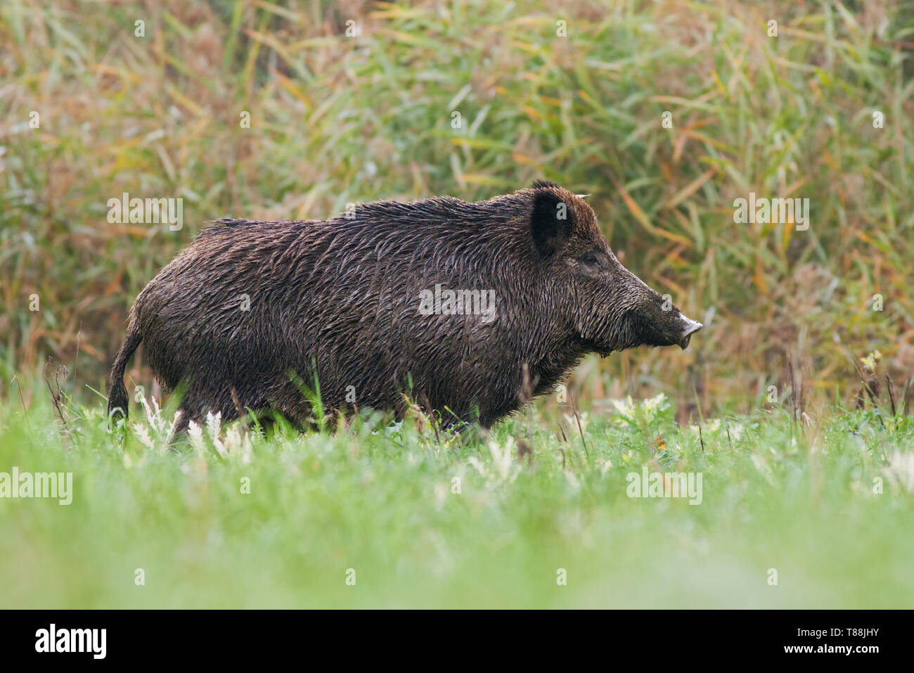 Side view of adult wild boar, sus scrofa, standing on a meadow in green grass in summer with blurred background. Low angle view of wild animal in natu - Stock Image