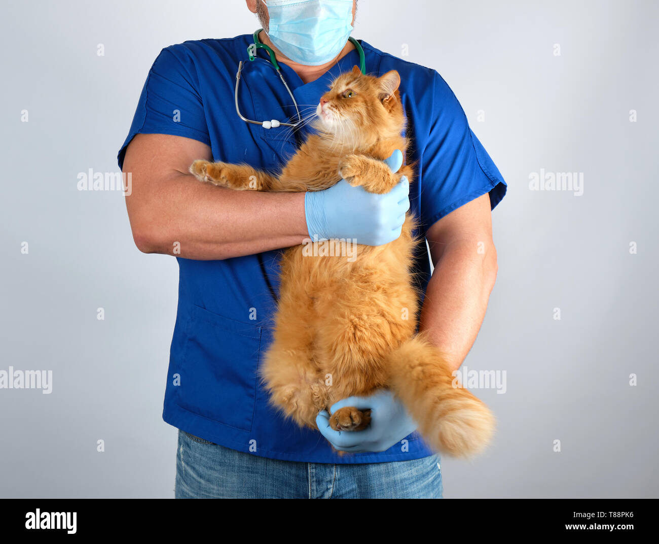 veterinarian doctor in blue uniform holding big fluffy red cat in hands on white background - Stock Image