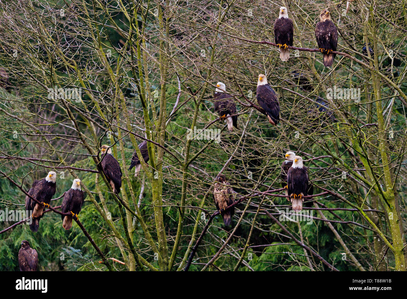 Multiple hungry bald eagles sitting in a tree along the Great Bear Rainforest coastline near the Broughton Archipelago, First Nations Territory, Briti - Stock Image