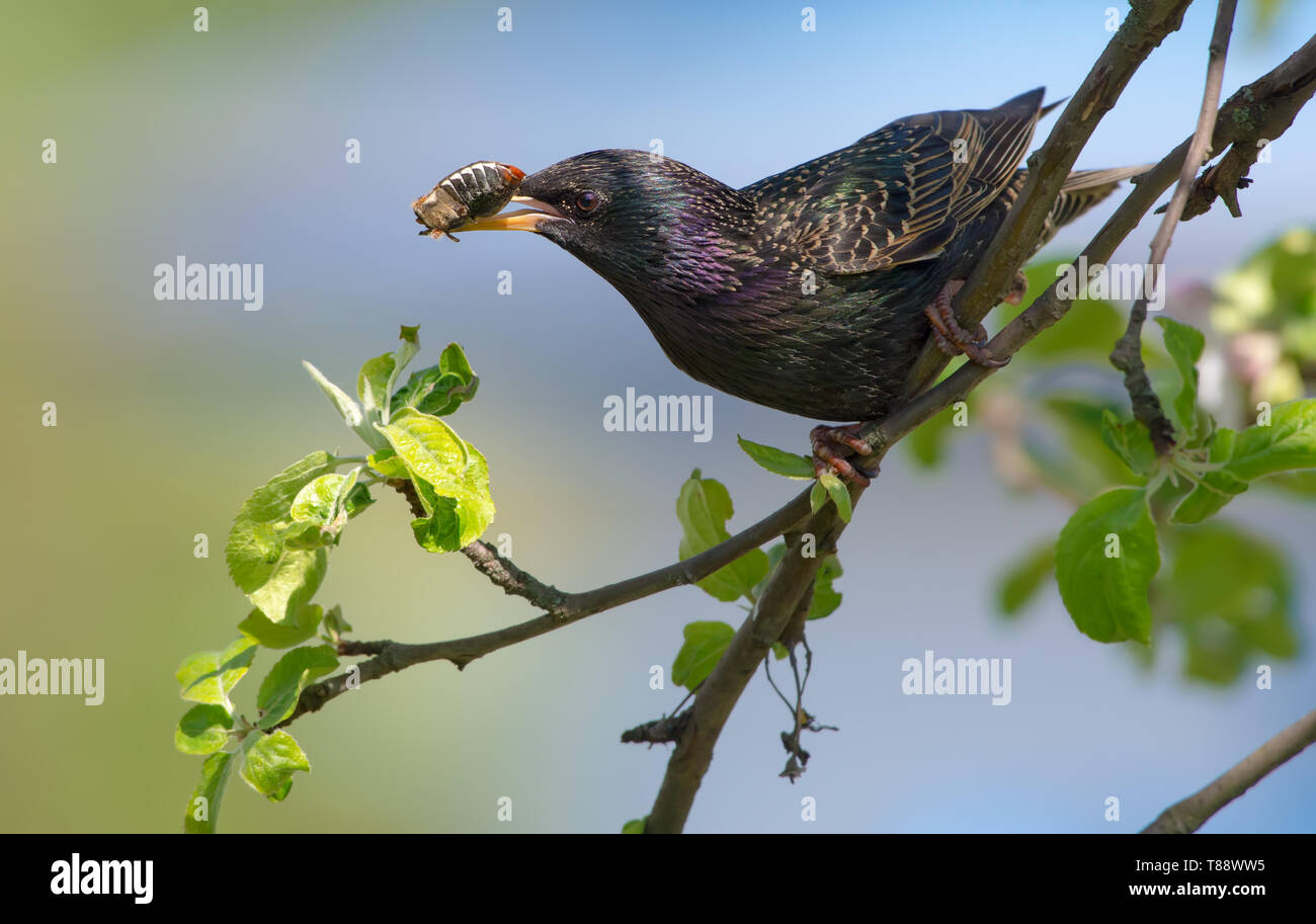 Common starling with beetle in beak for nestlings - Stock Image