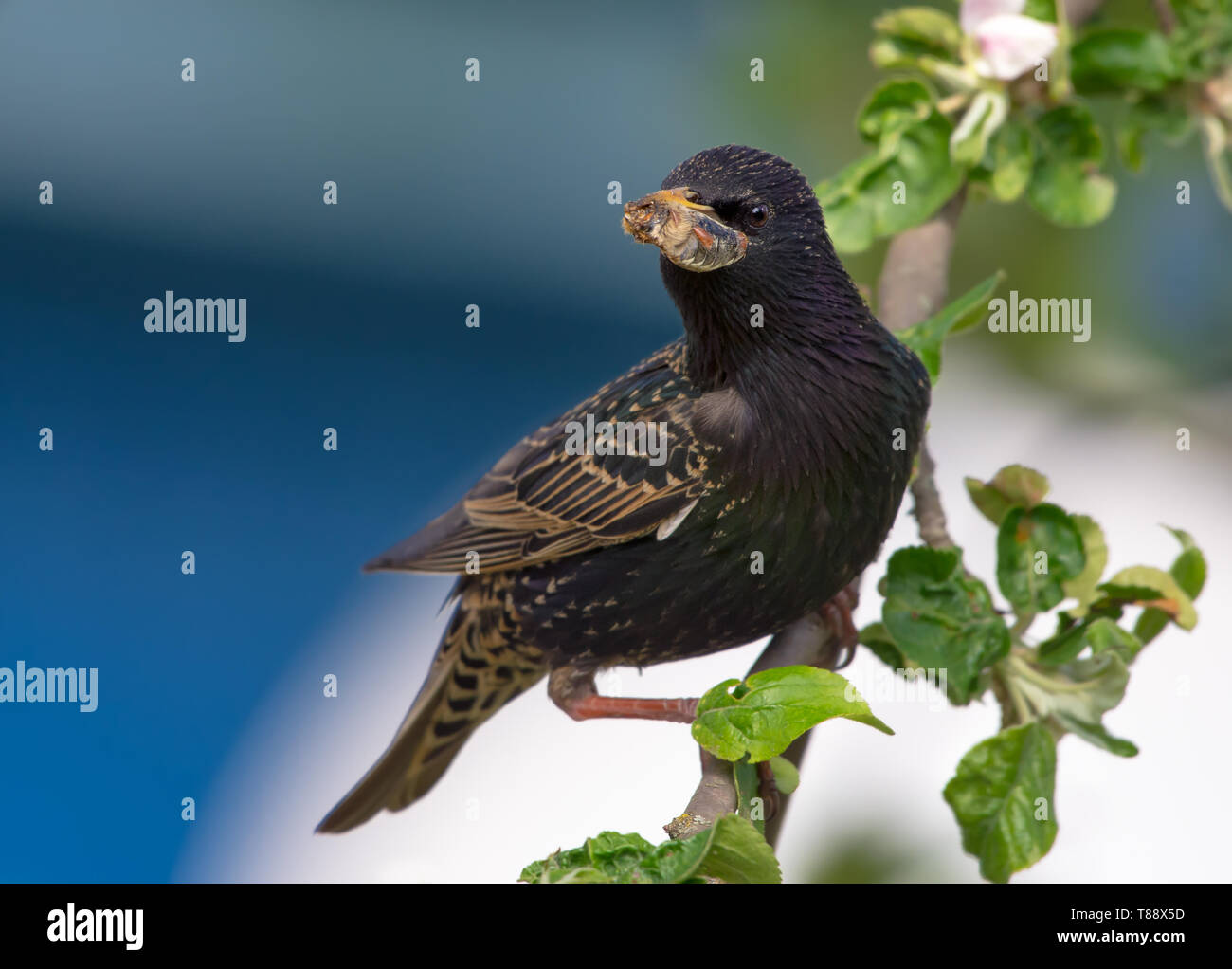 Male common starling with bug in mouth to deliver into his nest - Stock Image