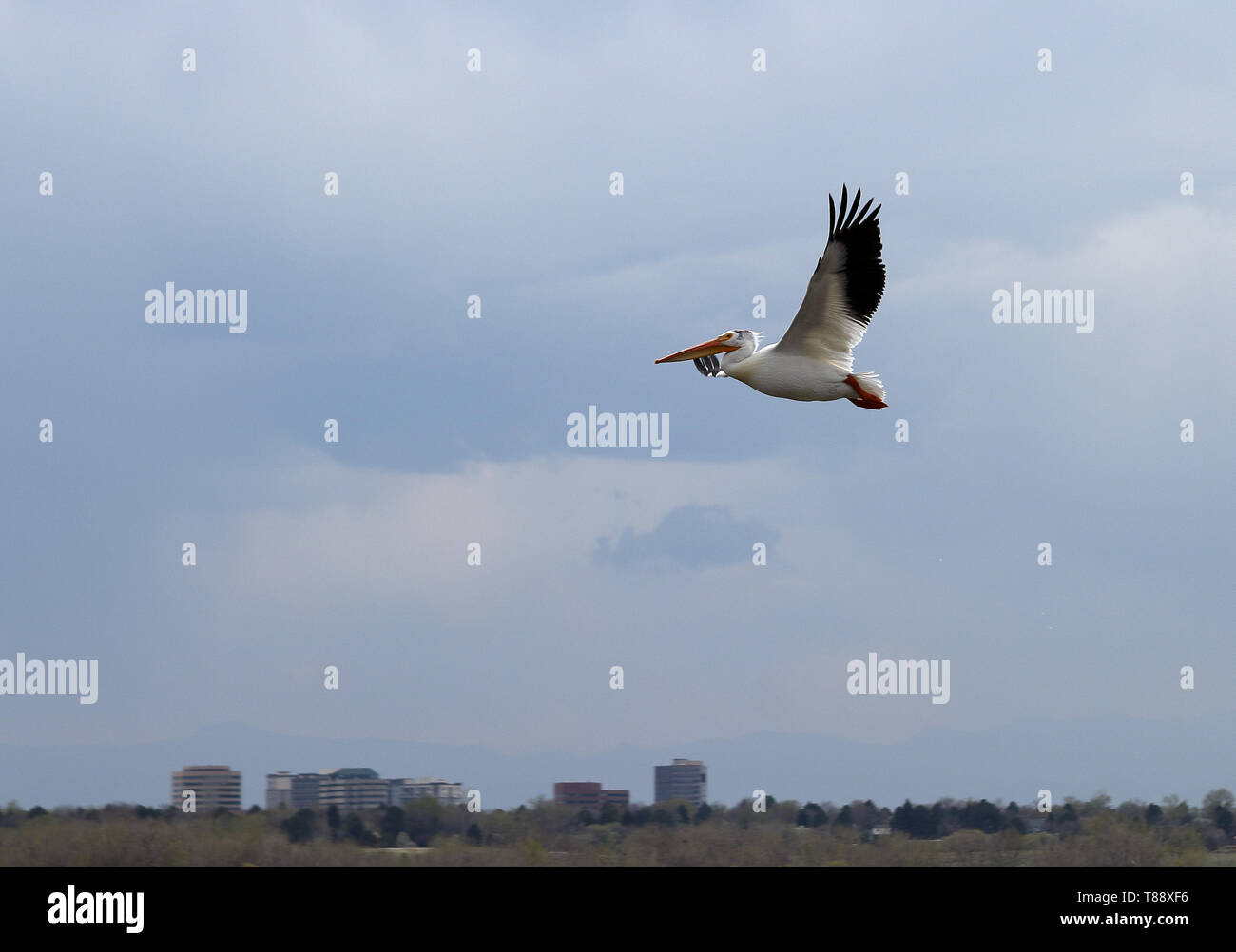 American white pelican flying above Cherry Creek Reservoir