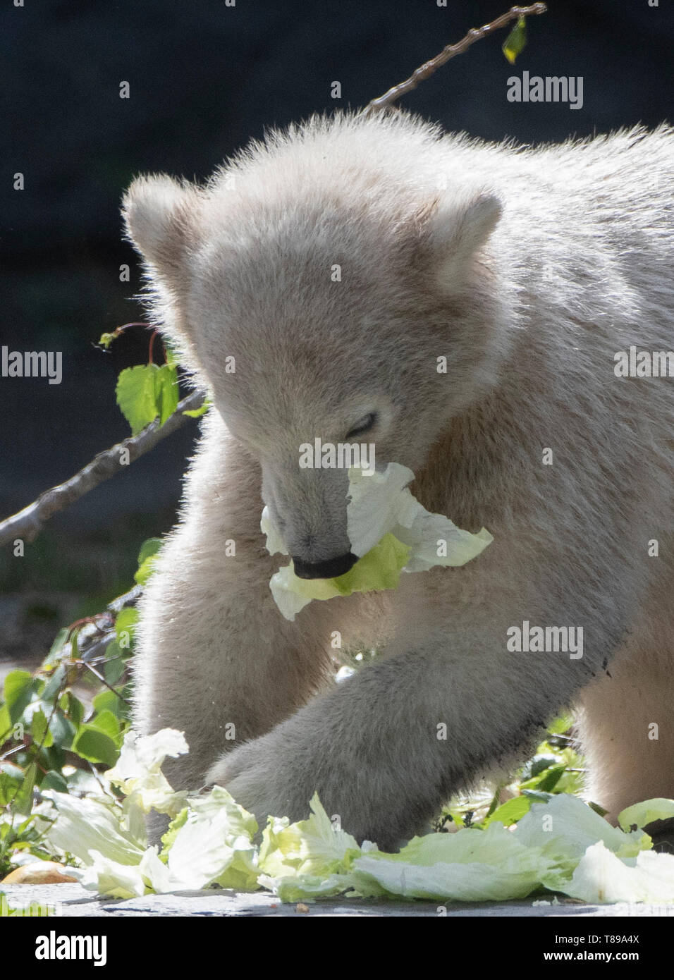Berlin, Germany. 12th May, 2019. Hertha tastes the vegetables that were specially made for the polar bears on Mother's Day. Credit: Paul Zinken/dpa/Alamy Live News Stock Photo