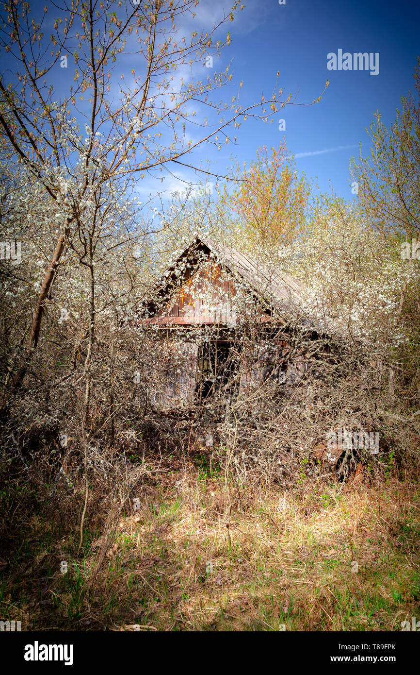 Abandoned little house overgrown with blooming trees an bush in Belarus Chernobyl exclusion zone, recently opened for the public from april 2019. - Stock Image