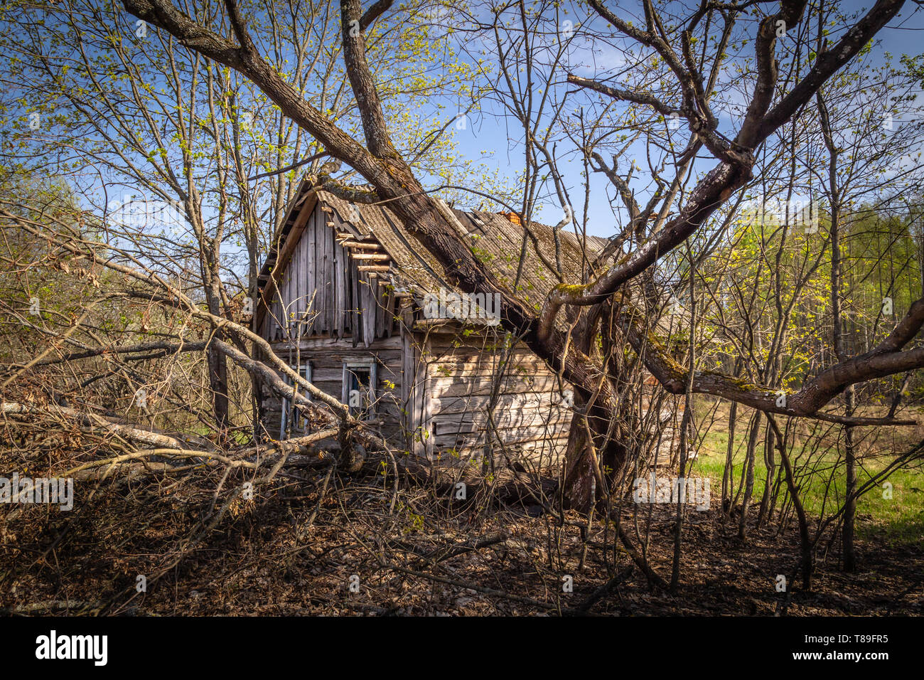 Abandoned little house overgrown with blooming trees and bush in Belarus Chernobyl exclusion zone, recently opened for the public from april 2019. - Stock Image