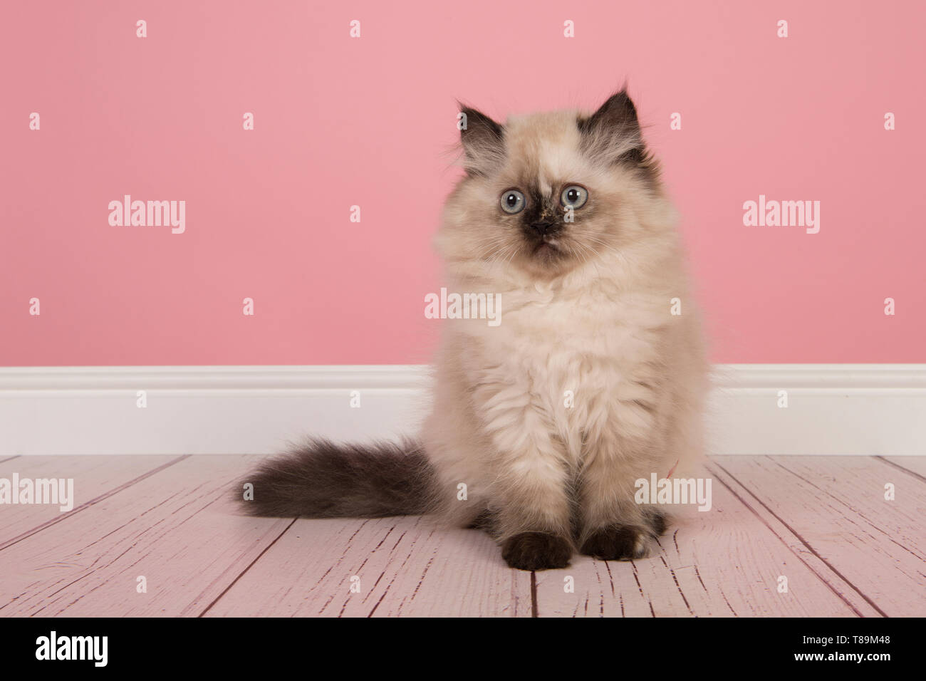 Seal Point Persian Longhair Kitten Sitting In A Pink Living