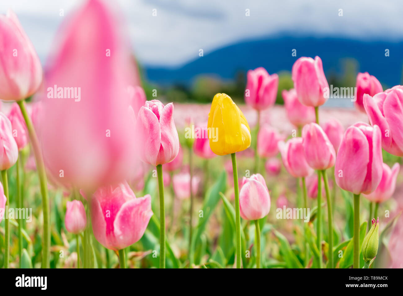 Yellow tulip in a field among pink and white tulips - one different flower. On a flower farm, tourist attraction. Stock Photo