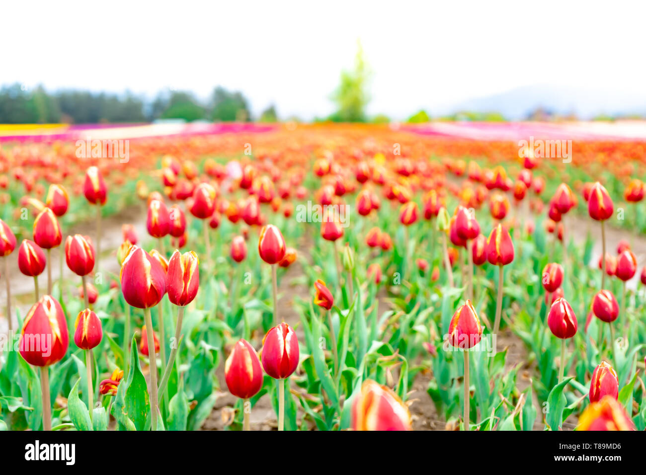 Landscape view of deep red and yellow tulip field, on a flower farm. Foreground focus with blurry distance showing a field of tulips. Red and orange h Stock Photo