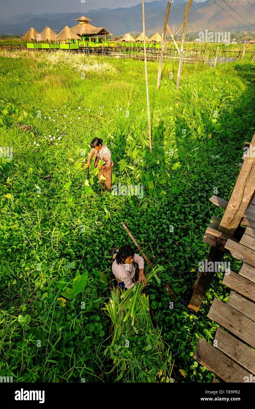Myanmar, Shan state, Inle Lake, Minh Taung village, grabing grass Stock Photo