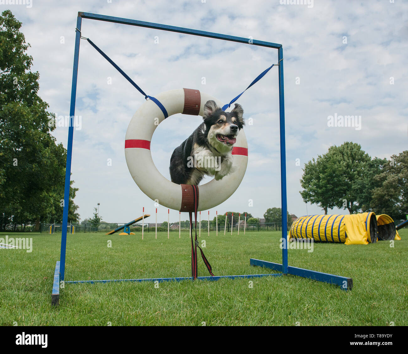 Border collie mixed dog jumping through the tire jump in an agility course seen from a low angle - Stock Image