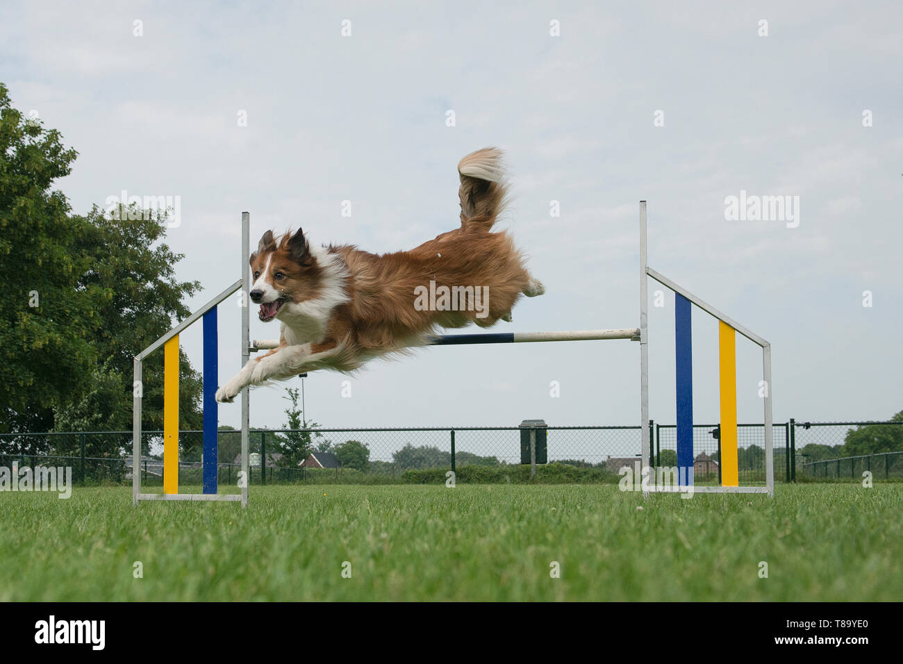 Border collie mixed dog jumping over a single jump in an agility course - Stock Image
