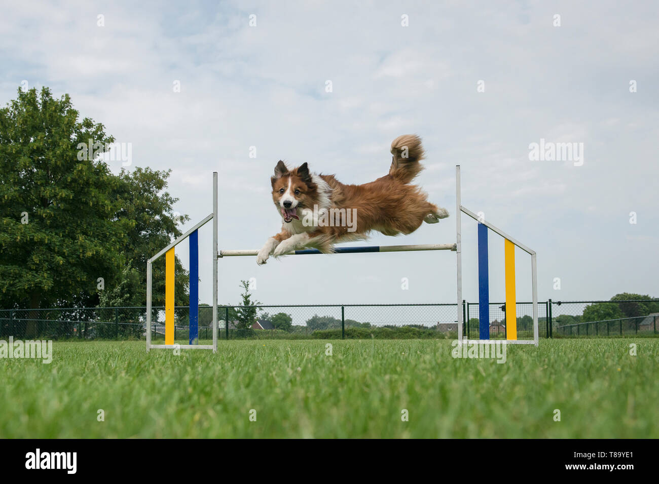 Border collie mixed dog jumping over a single jump  in an agility course while looking at the camera - Stock Image