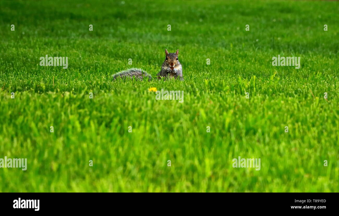squirrel starting straight into the camera while nibbling on an acorn - Stock Image