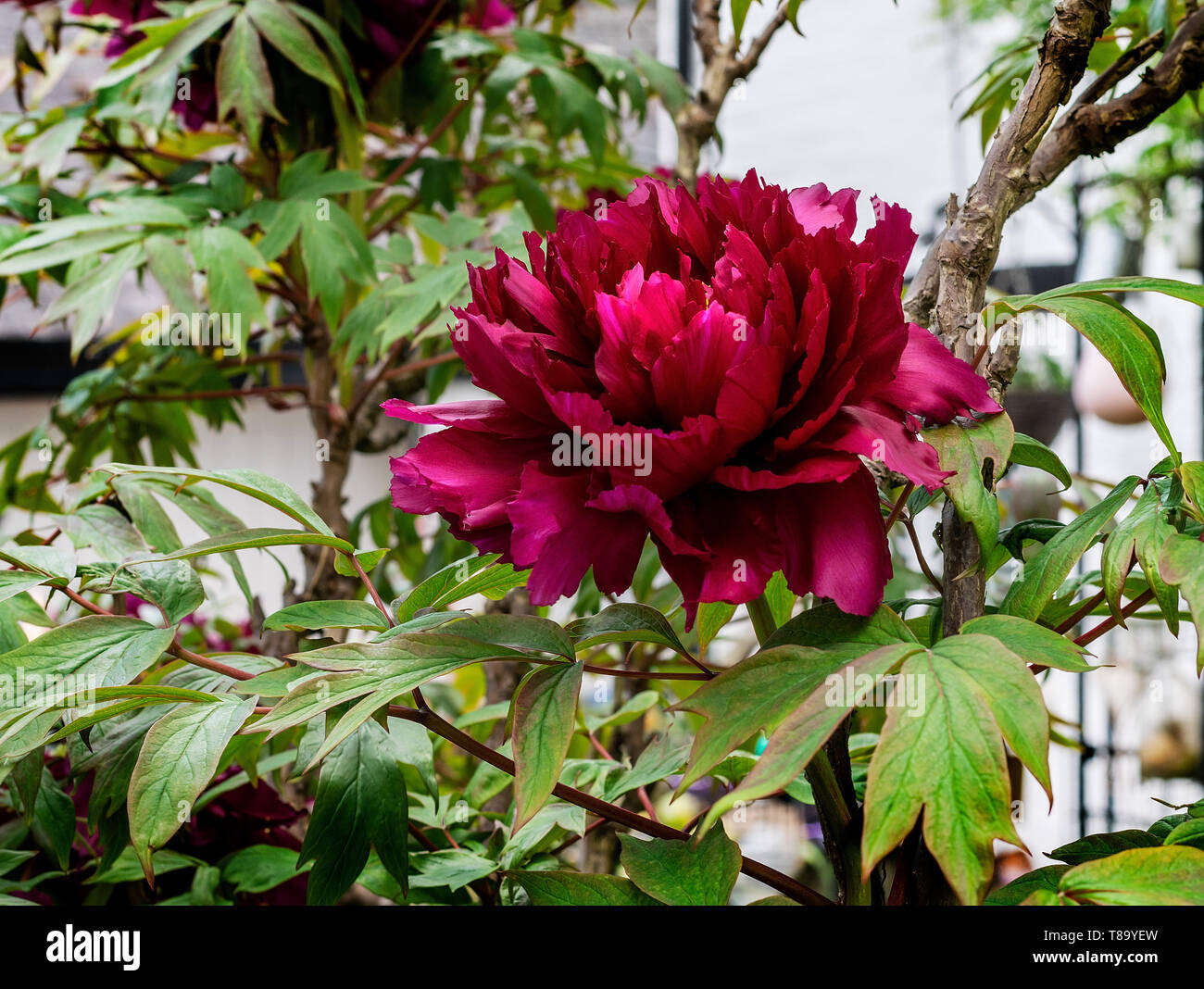 A Tree Peony in full flower - Stock Image