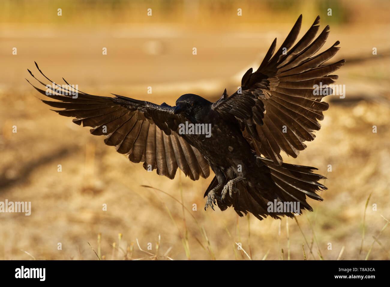 Australian Raven - Corvus coronoides black passerine bird in the genus Corvus native to much of southern and northeastern Australia. - Stock Image