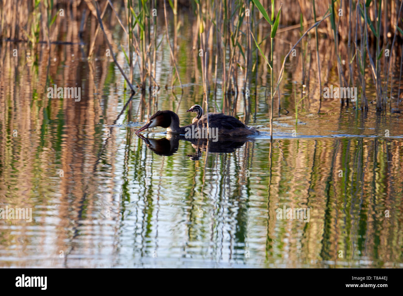 The great crested grebe swims with the chick on the back on the lake - Stock Image
