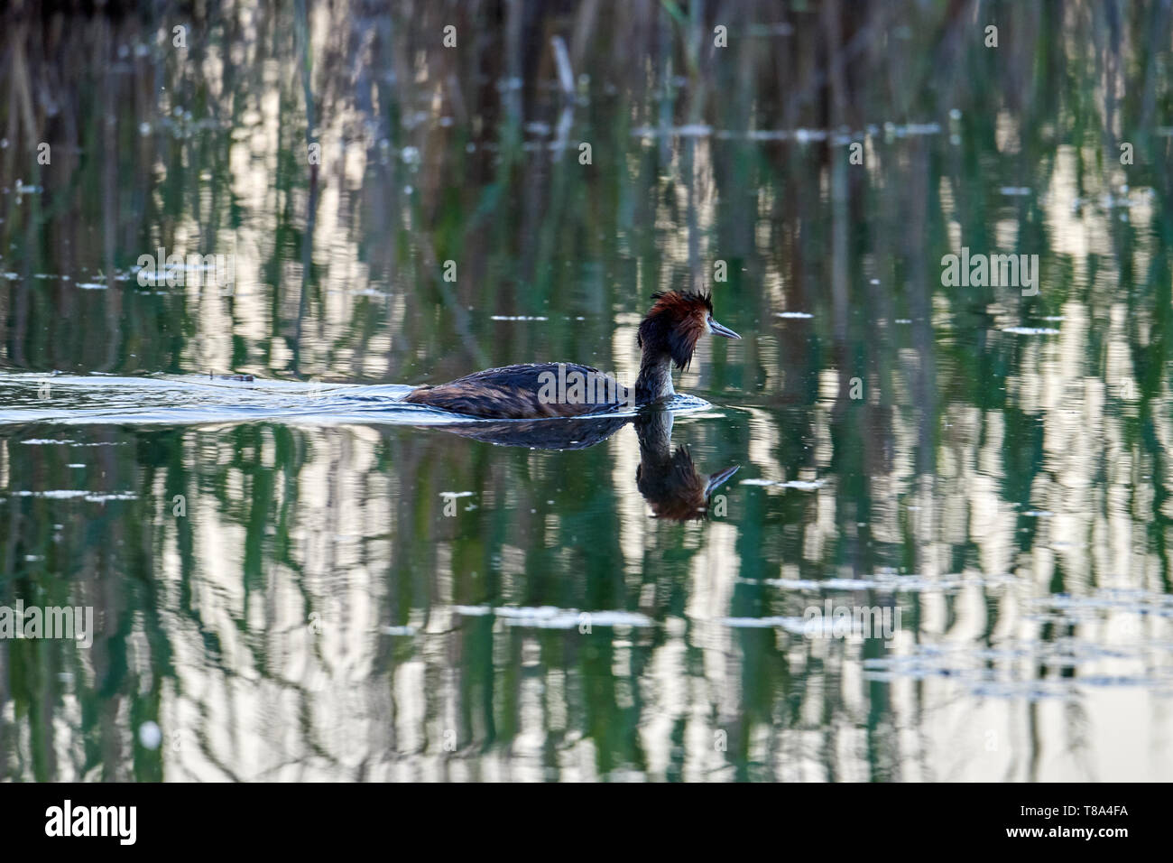 The great crested grebe swims on a lake with green water - Stock Image