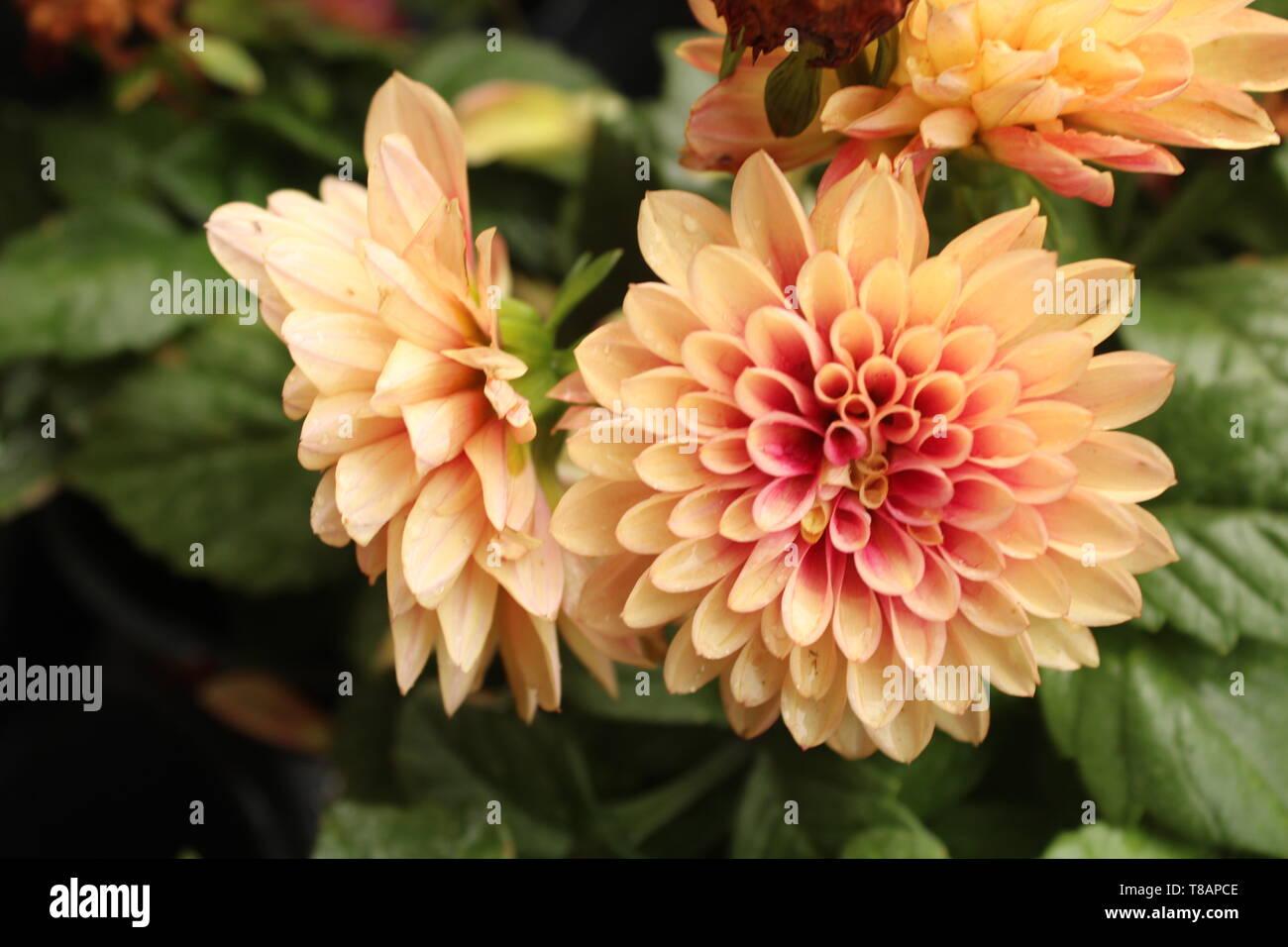Bear, DE/USA 4/30/2019: Genus: Dahlia, Family: Asteraceae, order: asterales, Native to: Mexico. - Stock Image