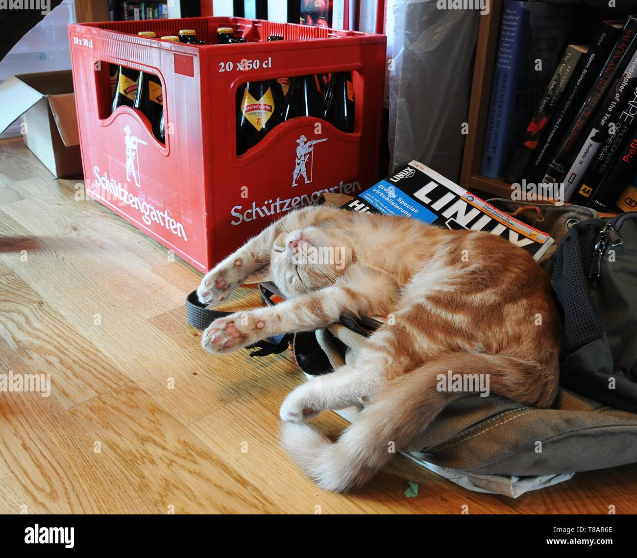 Party cat; teenaged ginger tom recovering next to beer bottles and nerdy magazine - Stock Image