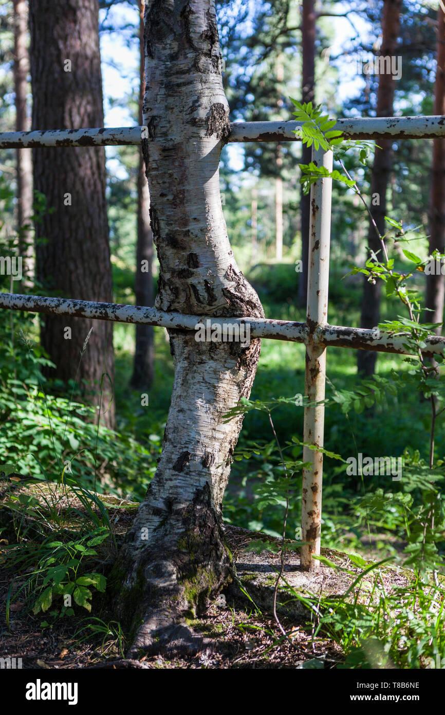 Tree grown stuck in metal fence - Stock Image