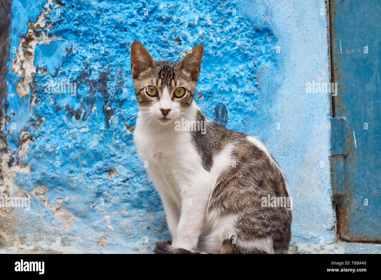 Feral cat hanging out in the medina of Tangier, looking into the camera, northern Morocco, North-Africa - Stock Image