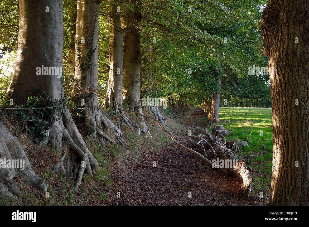 France, Seine-Maritime, Pays de Caux, Harcanville, clos masure, a typical farm of Normandy, called La Bataille, row of beeches on the left and oaks on the right that frame the moat protecting the farm land - Stock Image