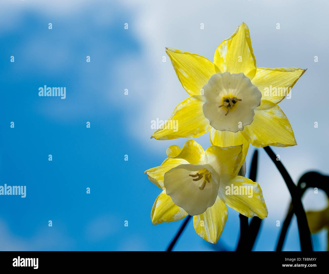 Fresh spring daffodil flowers Stock Photo
