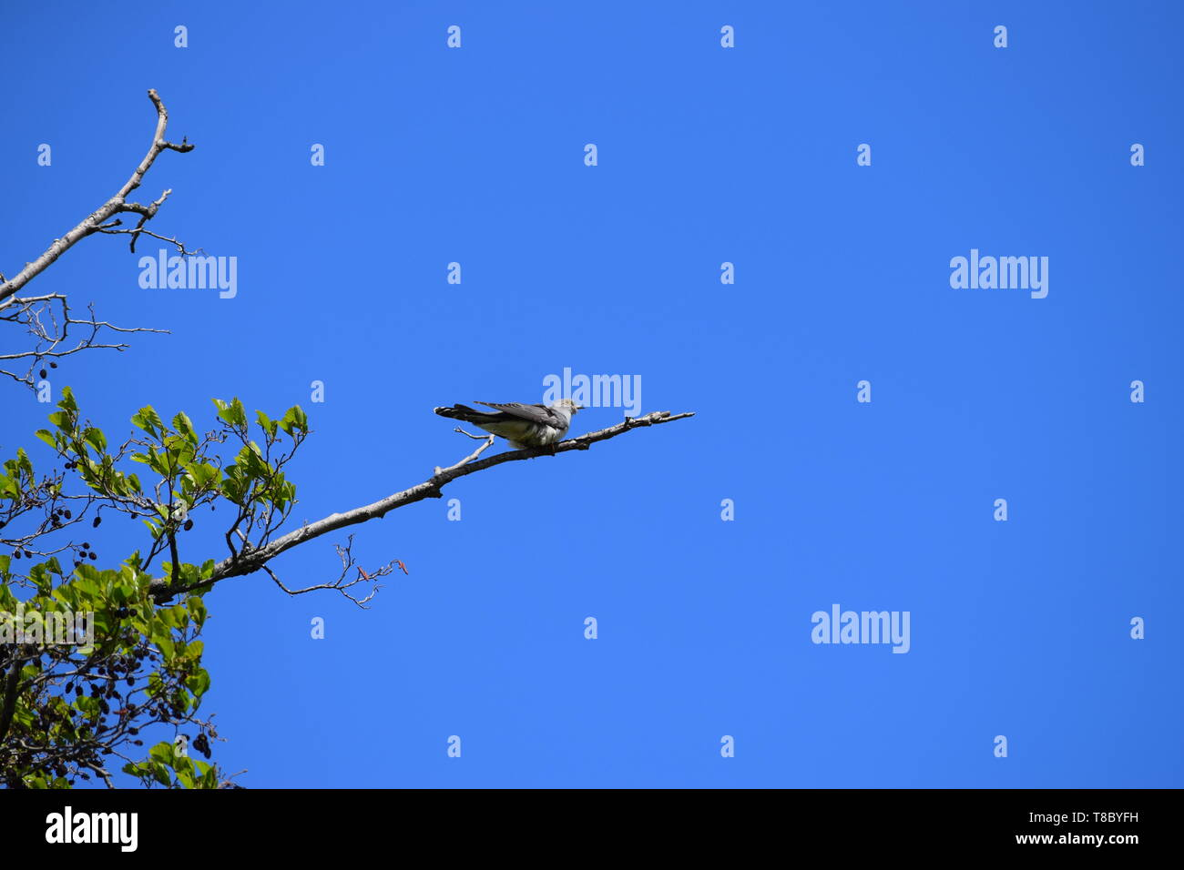 Cuckoo on a Branch - Stock Image