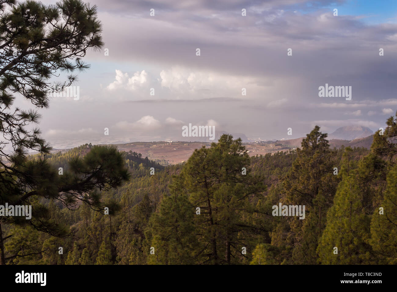 Trees on the hills of the Teide National Park. View on the coast of the island. Another island La Gomera on the horizon, among the morning clouds. Ten - Stock Image