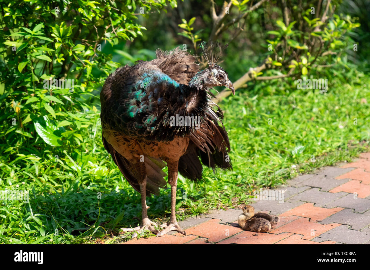 Peahen With Young Peachicks In Park At Kuala Lumpur