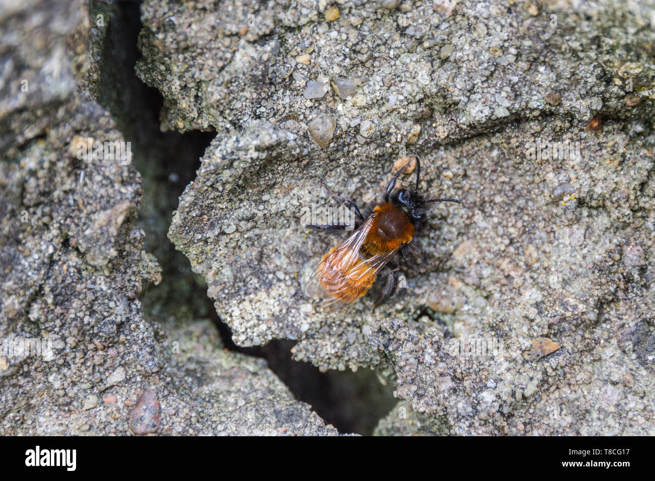 A close up detailed image of a tawny miner bee resting on a rock with the bee in sharp focus and the surrounding in defocus - Stock Image